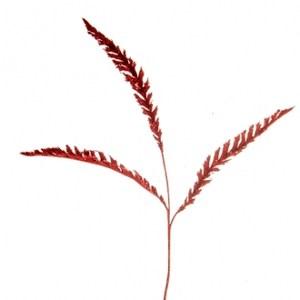 金粉厥葉 紅色