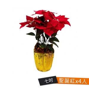 #299七吋聖誕紅盆花 4個