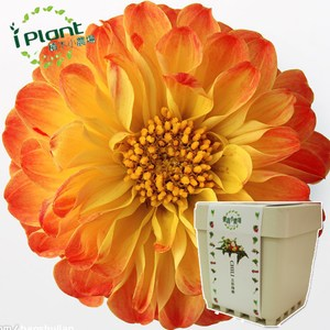 iPlant積木小農場-大理花