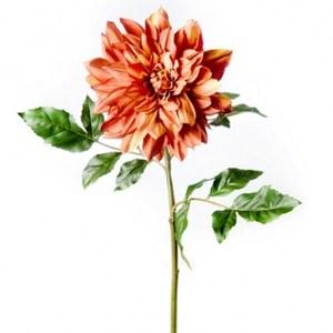 大理菊-棕