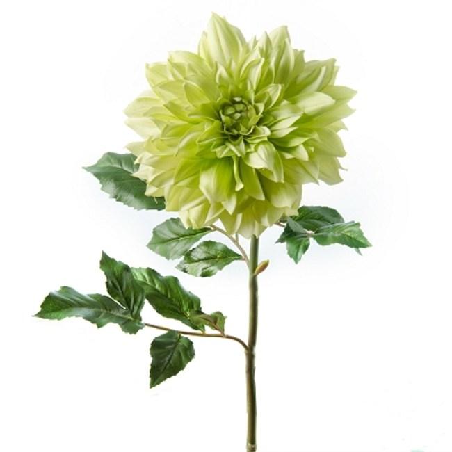 大理菊-綠